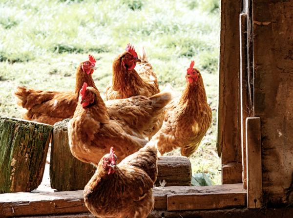 easter, whole free range chicken, online meat order, veg delivery online, wells farm shop, farmshop abingdon,